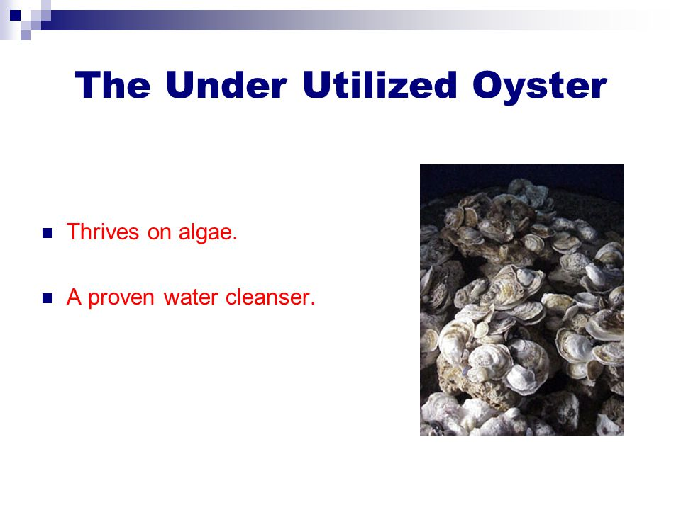 The Under Utilized Oyster Thrives on algae. A proven water cleanser.