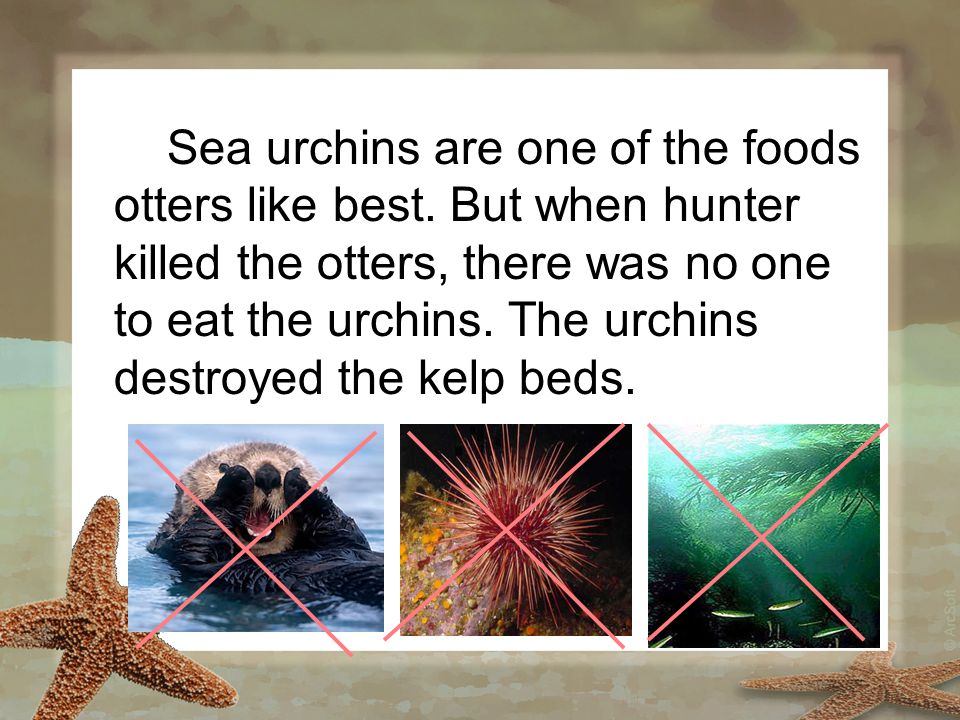 Sea urchins are one of the foods otters like best. But when hunter killed the otters, there was no one to eat the urchins. The urchins destroyed the k