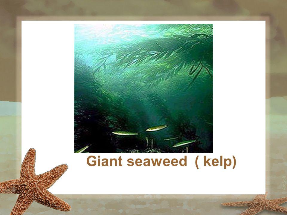 Giant seaweed ( kelp)