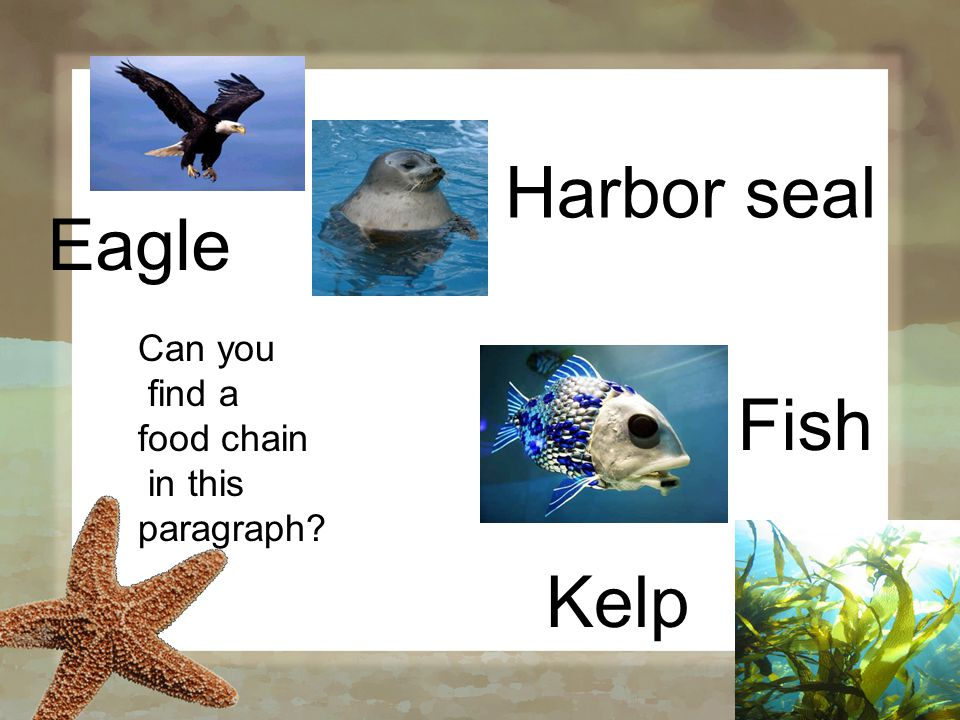 Can you find a food chain in this paragraph Kelp Fish Harbor seal Eagle