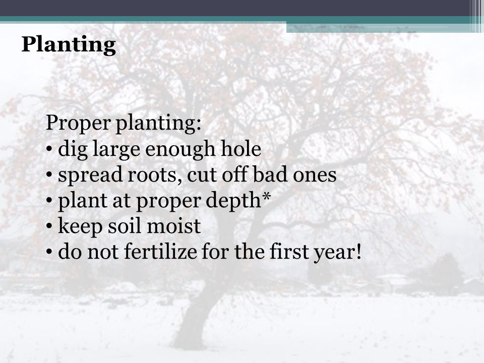 Planting Proper planting: dig large enough hole spread roots, cut off bad ones plant at proper depth* keep soil moist do not fertilize for the first year!
