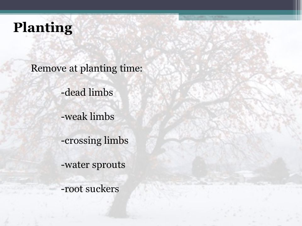 Remove at planting time: -dead limbs -weak limbs -crossing limbs -water sprouts -root suckers Planting