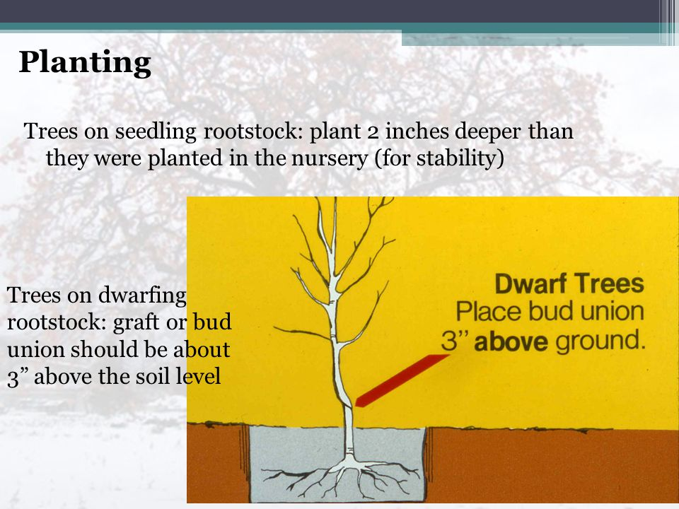 Trees on seedling rootstock: plant 2 inches deeper than they were planted in the nursery (for stability) Trees on dwarfing rootstock: graft or bud union should be about 3 above the soil level