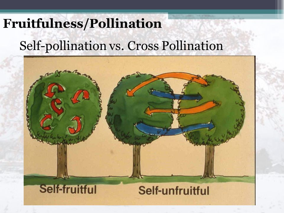 Fruitfulness/Pollination Self-pollination vs. Cross Pollination
