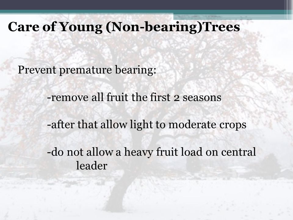 Care of Young (Non-bearing)Trees Prevent premature bearing: -remove all fruit the first 2 seasons -after that allow light to moderate crops -do not allow a heavy fruit load on central leader