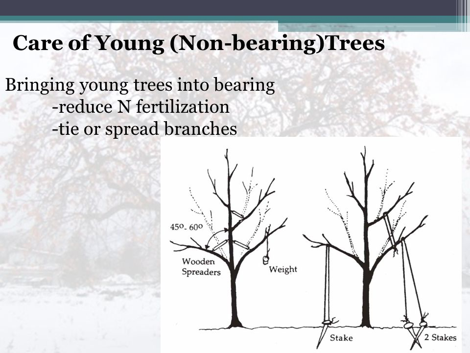 Care of Young (Non-bearing)Trees Bringing young trees into bearing -reduce N fertilization -tie or spread branches