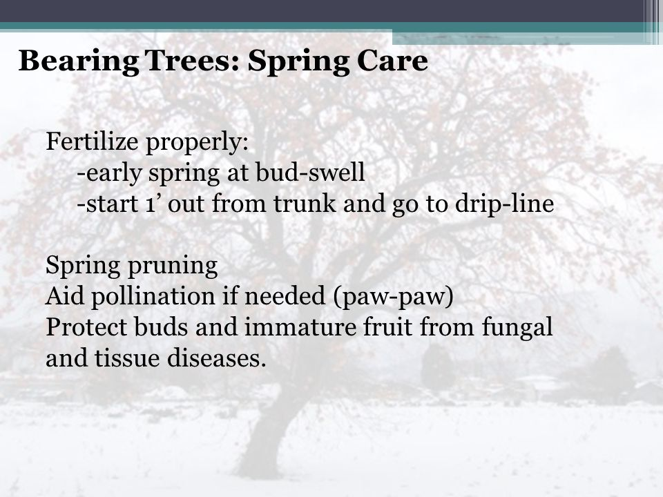 Bearing Trees: Spring Care Fertilize properly: -early spring at bud-swell -start 1' out from trunk and go to drip-line Spring pruning Aid pollination