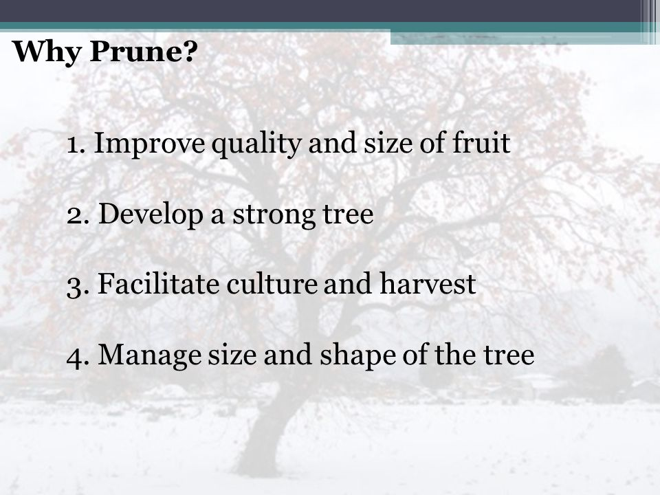Why Prune.1. Improve quality and size of fruit 2.