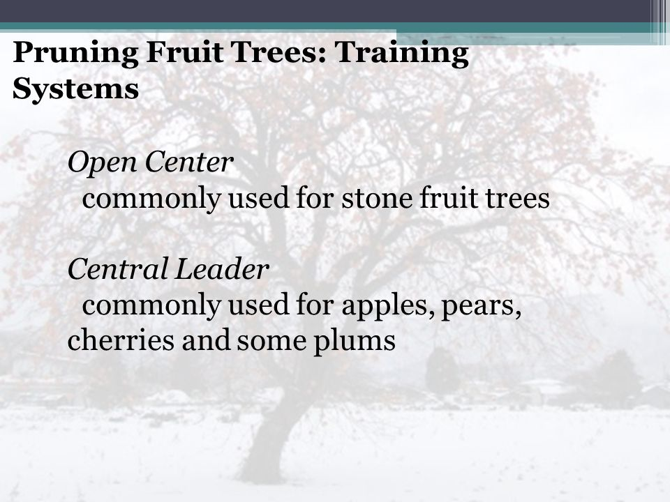 Pruning Fruit Trees: Training Systems Open Center commonly used for stone fruit trees Central Leader commonly used for apples, pears, cherries and some plums
