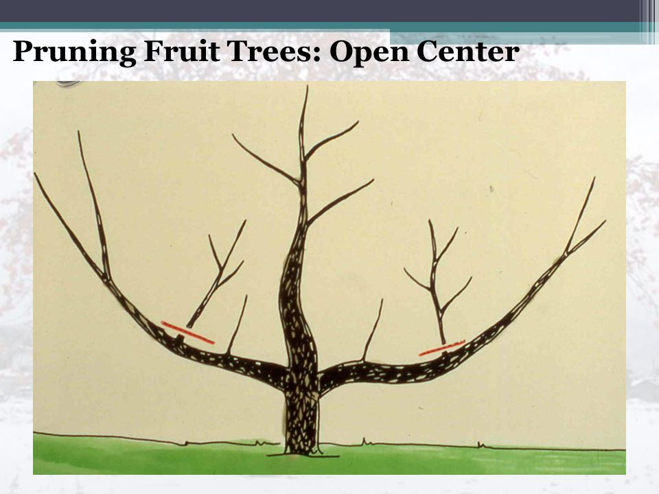 Pruning Fruit Trees: Open Center