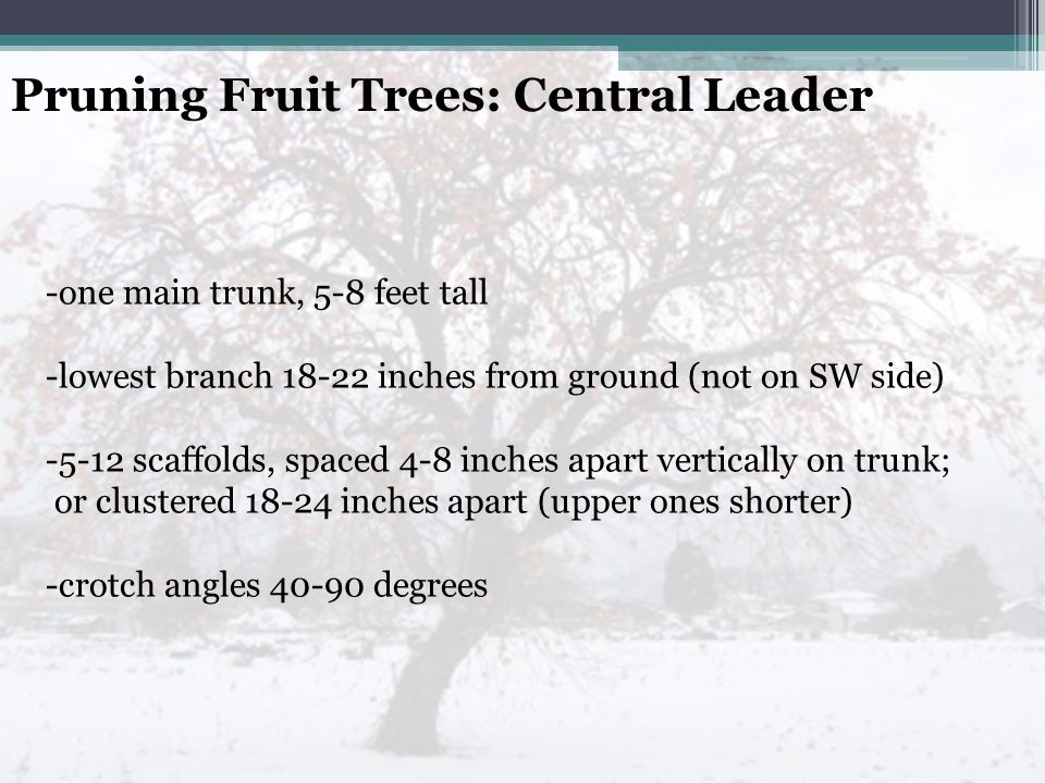 Pruning Fruit Trees: Central Leader -one main trunk, 5-8 feet tall -lowest branch 18-22 inches from ground (not on SW side) -5-12 scaffolds, spaced 4-8 inches apart vertically on trunk; or clustered 18-24 inches apart (upper ones shorter) -crotch angles 40-90 degrees