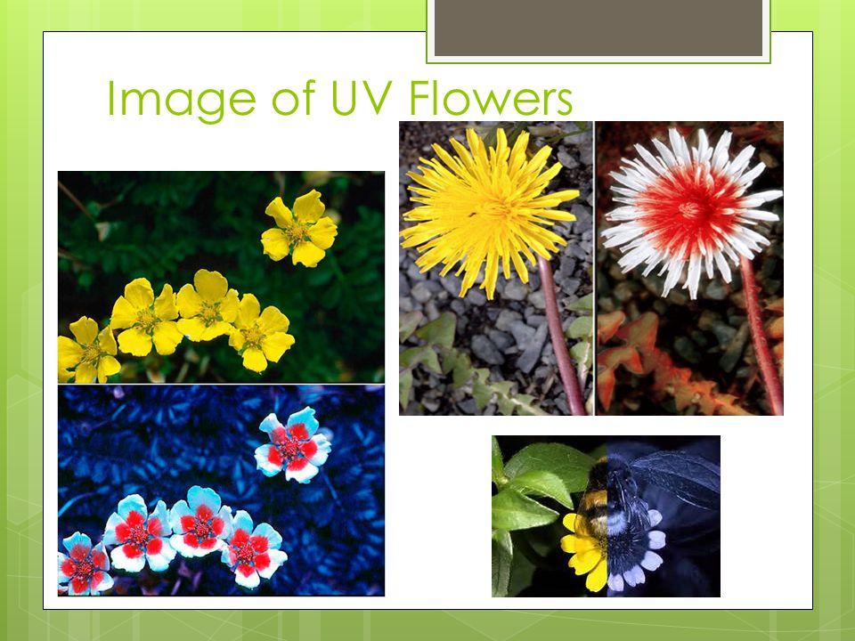 Image of UV Flowers
