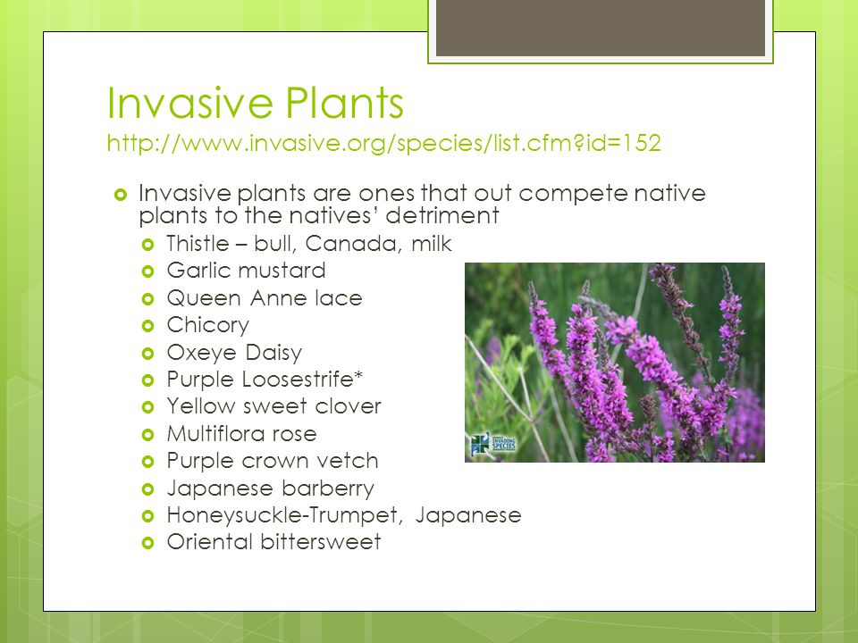 Invasive Plants http://www.invasive.org/species/list.cfm id=152  Invasive plants are ones that out compete native plants to the natives' detriment  Thistle – bull, Canada, milk  Garlic mustard  Queen Anne lace  Chicory  Oxeye Daisy  Purple Loosestrife*  Yellow sweet clover  Multiflora rose  Purple crown vetch  Japanese barberry  Honeysuckle-Trumpet, Japanese  Oriental bittersweet