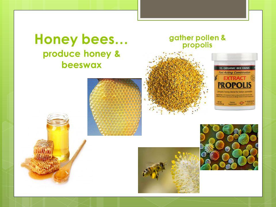 Honey bees… produce honey & beeswax gather pollen & propolis