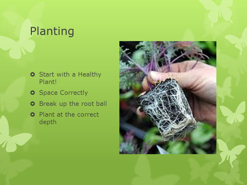 Planting  Start with a Healthy Plant!  Space Correctly  Break up the root ball  Plant at the correct depth