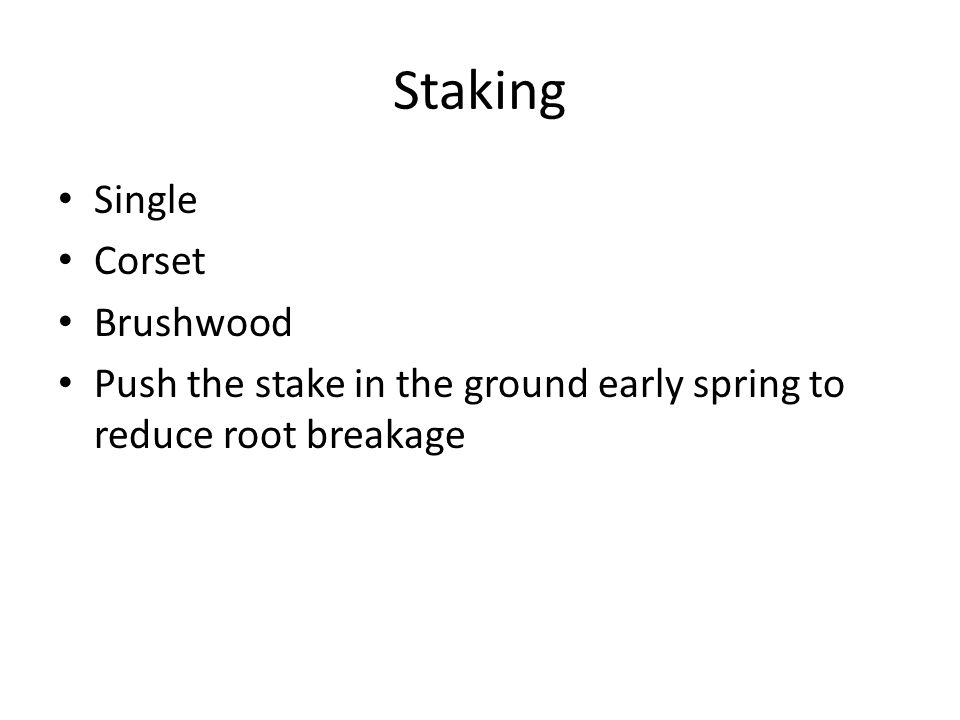 Staking Single Corset Brushwood Push the stake in the ground early spring to reduce root breakage