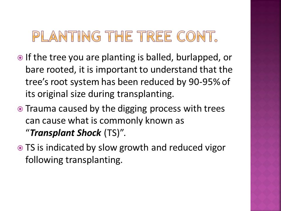  If the tree you are planting is balled, burlapped, or bare rooted, it is important to understand that the tree's root system has been reduced by 90-95% of its original size during transplanting.