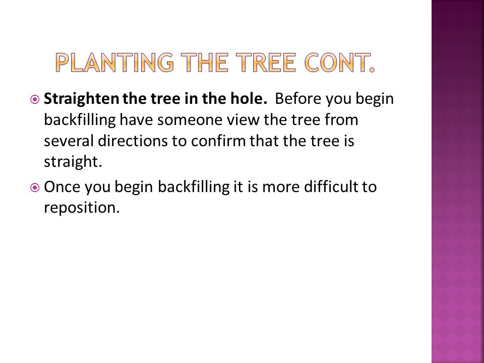  Straighten the tree in the hole.