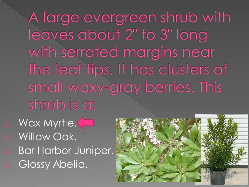 a. Wax Myrtle. b. Willow Oak. c. Bar Harbor Juniper. d. Glossy Abelia.