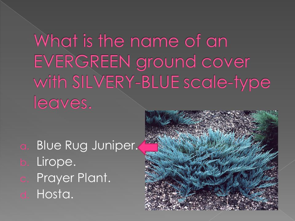 a. Blue Rug Juniper. b. Lirope. c. Prayer Plant. d. Hosta.