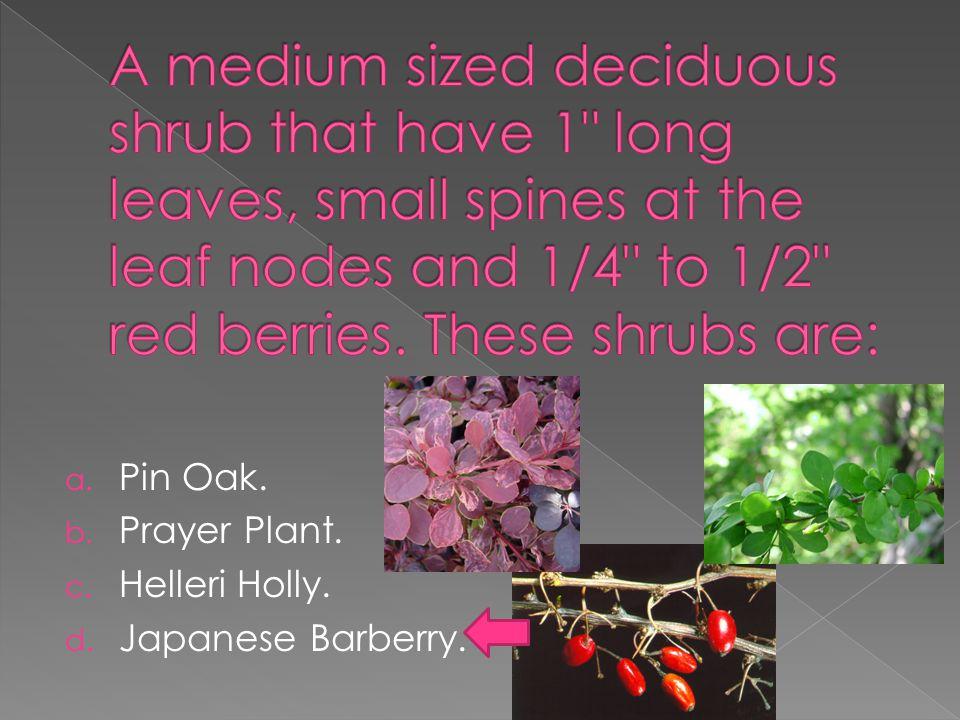 a. Pin Oak. b. Prayer Plant. c. Helleri Holly. d. Japanese Barberry.