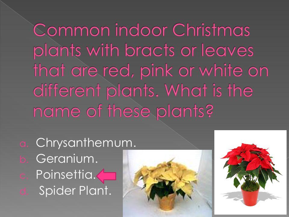 a. Chrysanthemum. b. Geranium. c. Poinsettia. d. Spider Plant.