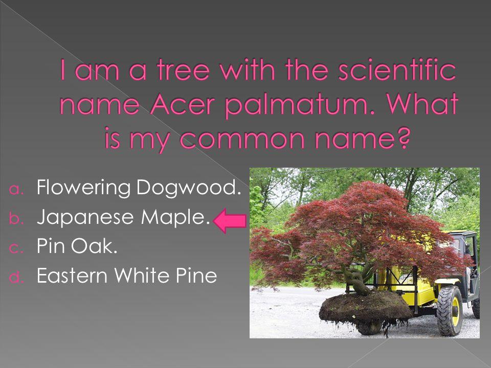a. Flowering Dogwood. b. Japanese Maple. c. Pin Oak. d. Eastern White Pine
