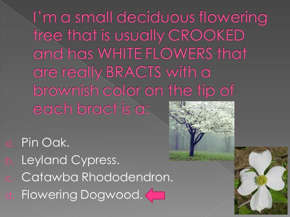 a. Pin Oak. b. Leyland Cypress. c. Catawba Rhododendron. d. Flowering Dogwood.