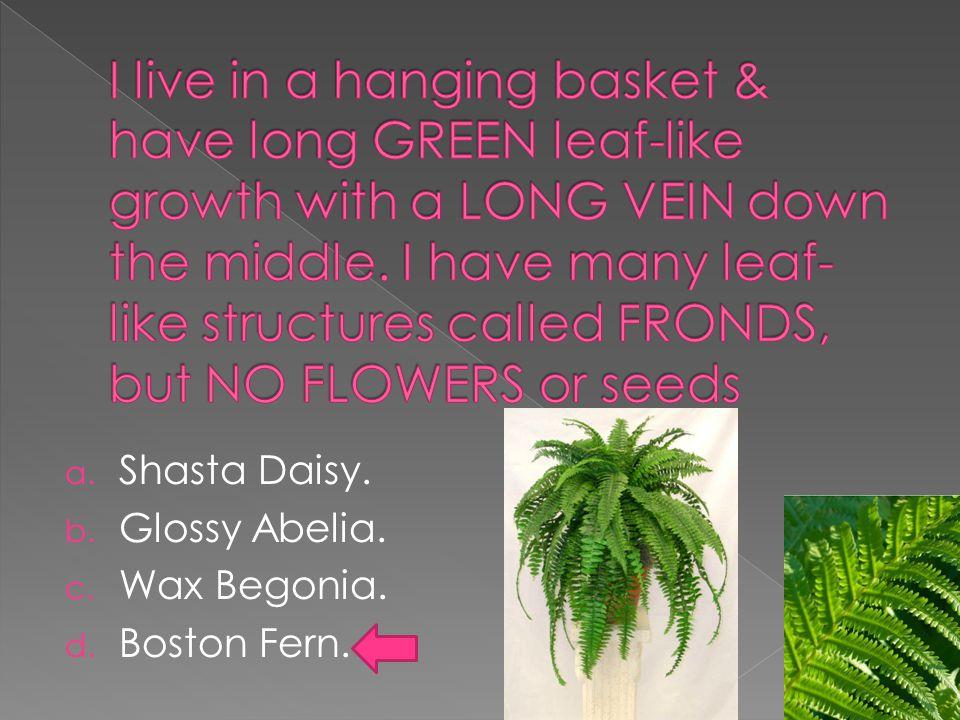a. Shasta Daisy. b. Glossy Abelia. c. Wax Begonia. d. Boston Fern.