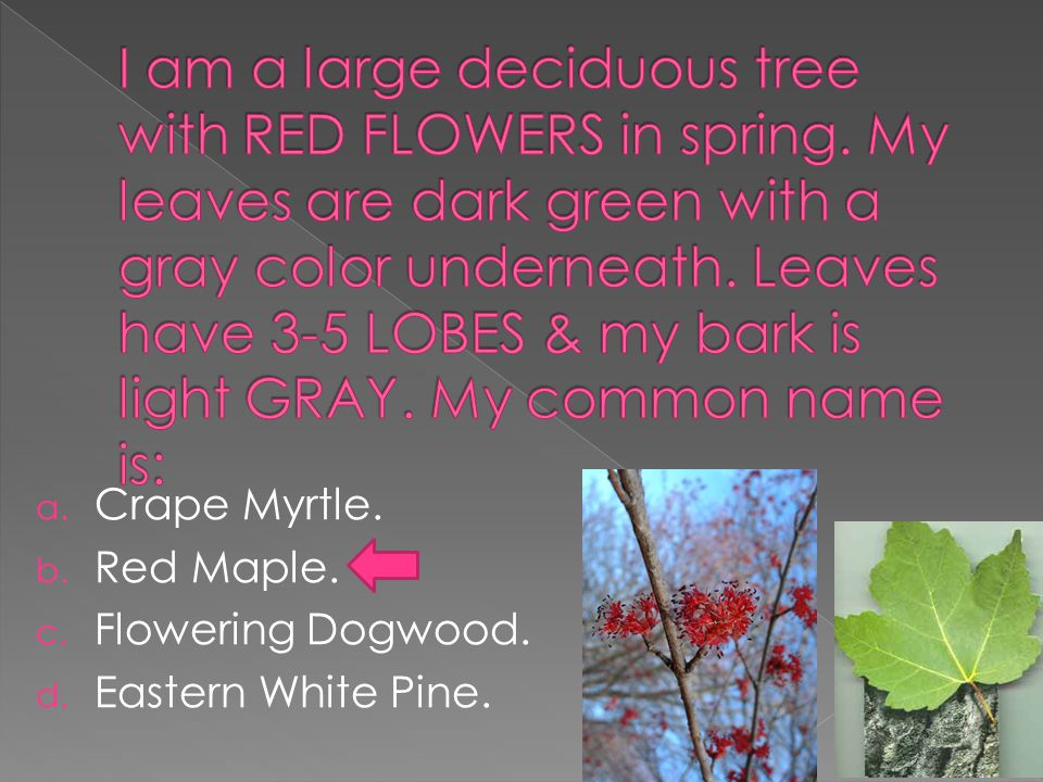 a. Crape Myrtle. b. Red Maple. c. Flowering Dogwood. d. Eastern White Pine.