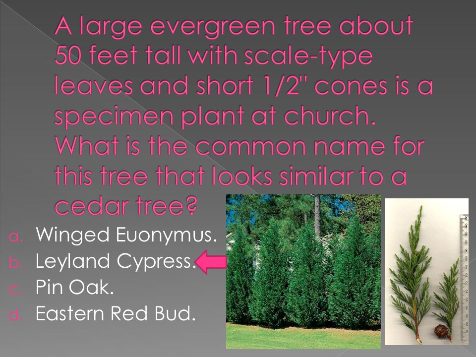 a. Norfolk Island Pine. b. Japanese Barberry. c. Winged Euonymus. d. Dumbcane.