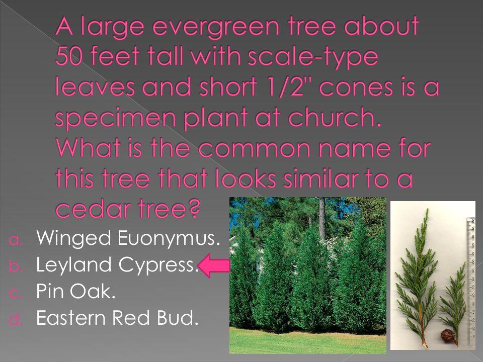 a. Winged Euonymus. b. Leyland Cypress. c. Pin Oak. d. Eastern Red Bud.