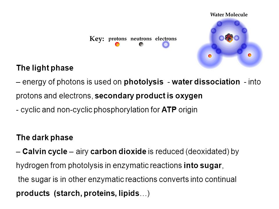 The light phase – energy of photons is used on photolysis - water dissociation - into protons and electrons, secondary product is oxygen - cyclic and non-cyclic phosphorylation for ATP origin The dark phase – Calvin cycle – airy carbon dioxide is reduced (deoxidated) by hydrogen from photolysis in enzymatic reactions into sugar, the sugar is in other enzymatic reactions converts into continual products (starch, proteins, lipids…)