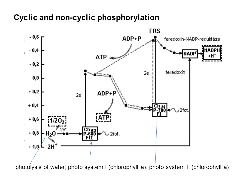 Cyclic and non-cyclic phosphorylation photolysis of water, photo system I (chlorophyll a), photo system II (chlorophyll a)