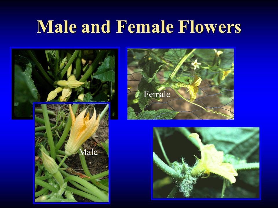 Male and Female Flowers Female Male