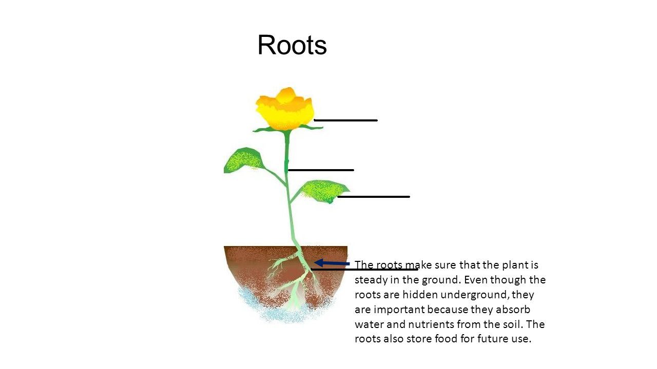 The roots make sure that the plant is steady in the ground.