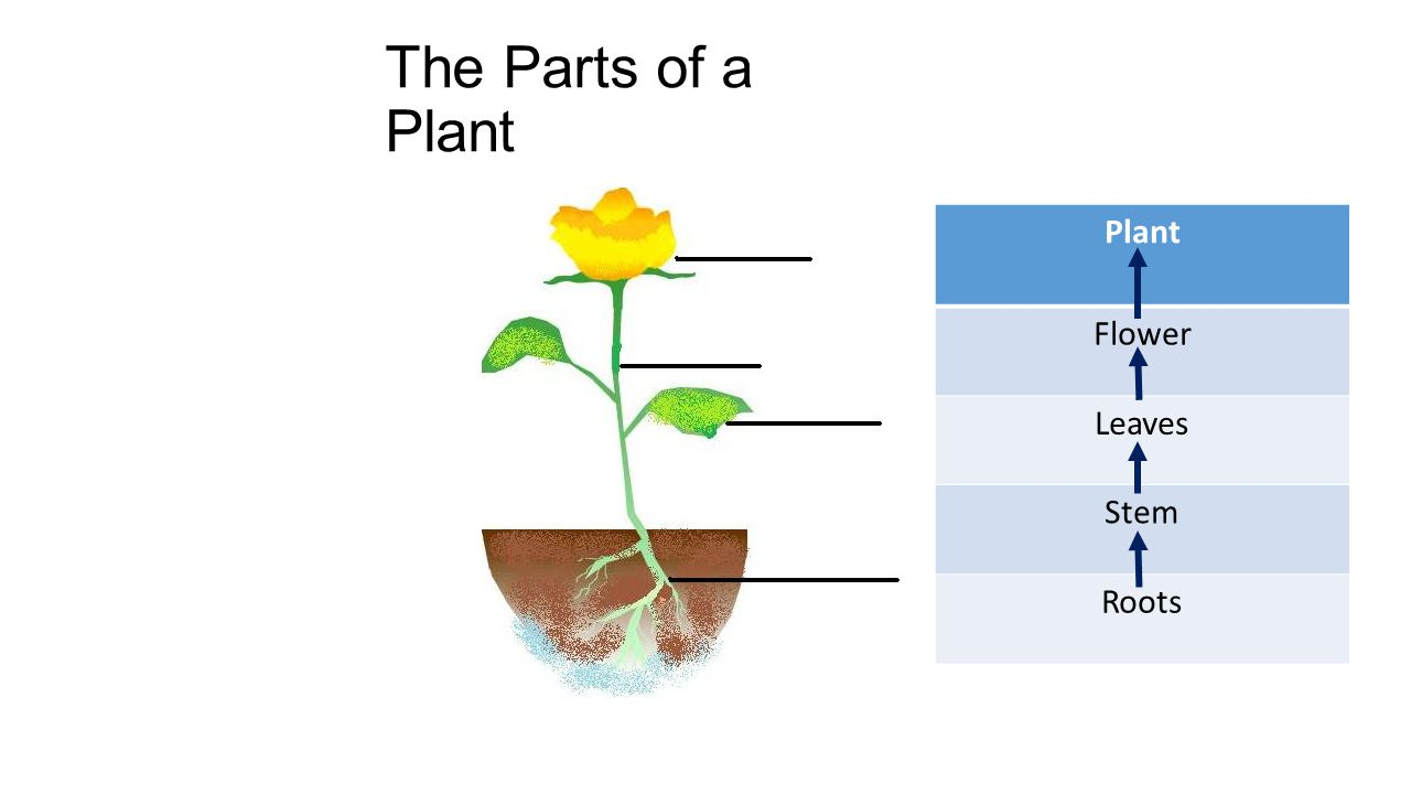 The Parts of a Plant Plant Flower Leaves Stem Roots