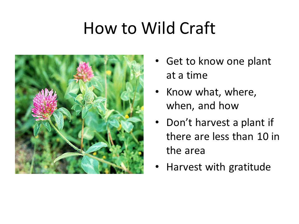 How to Wild Craft Get to know one plant at a time Know what, where, when, and how Don't harvest a plant if there are less than 10 in the area Harvest
