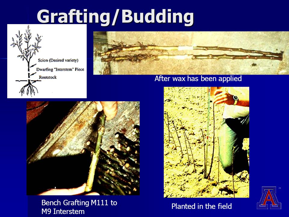 Grafting/Budding Bench Grafting M111 to M9 Interstem After wax has been applied Planted in the field