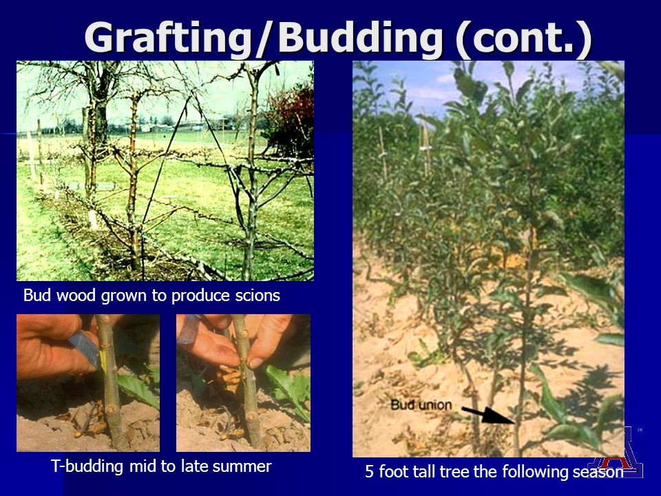 Grafting/Budding (cont.) Bud wood grown to produce scions T-budding mid to late summer 5 foot tall tree the following season