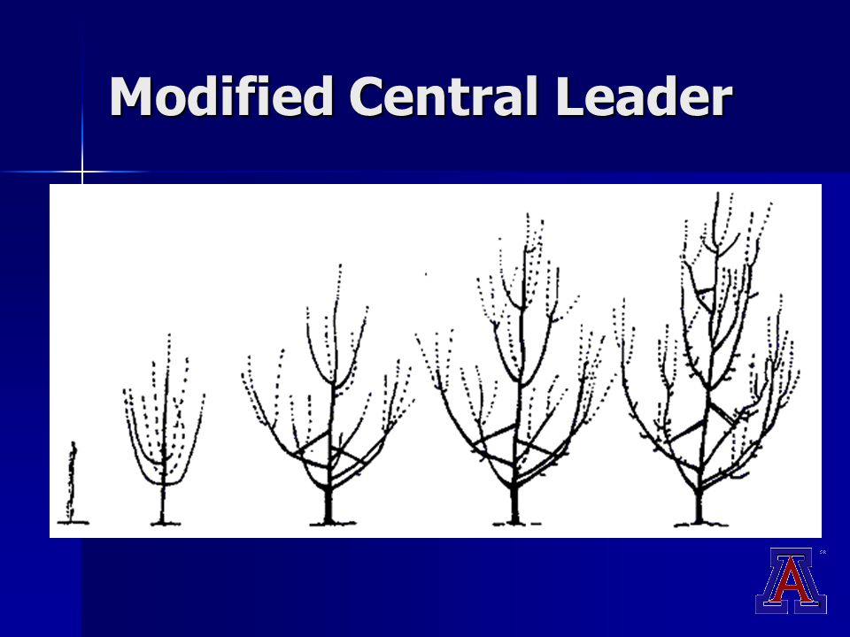 Modified Central Leader