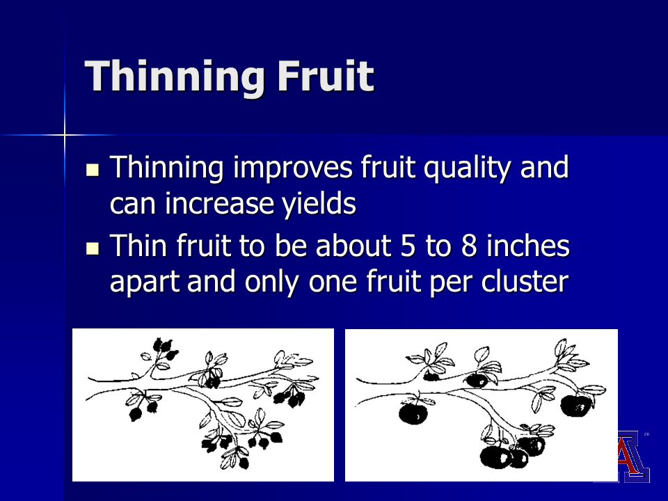 Thinning Fruit Thinning improves fruit quality and can increase yields Thinning improves fruit quality and can increase yields Thin fruit to be about 5 to 8 inches apart and only one fruit per cluster Thin fruit to be about 5 to 8 inches apart and only one fruit per cluster