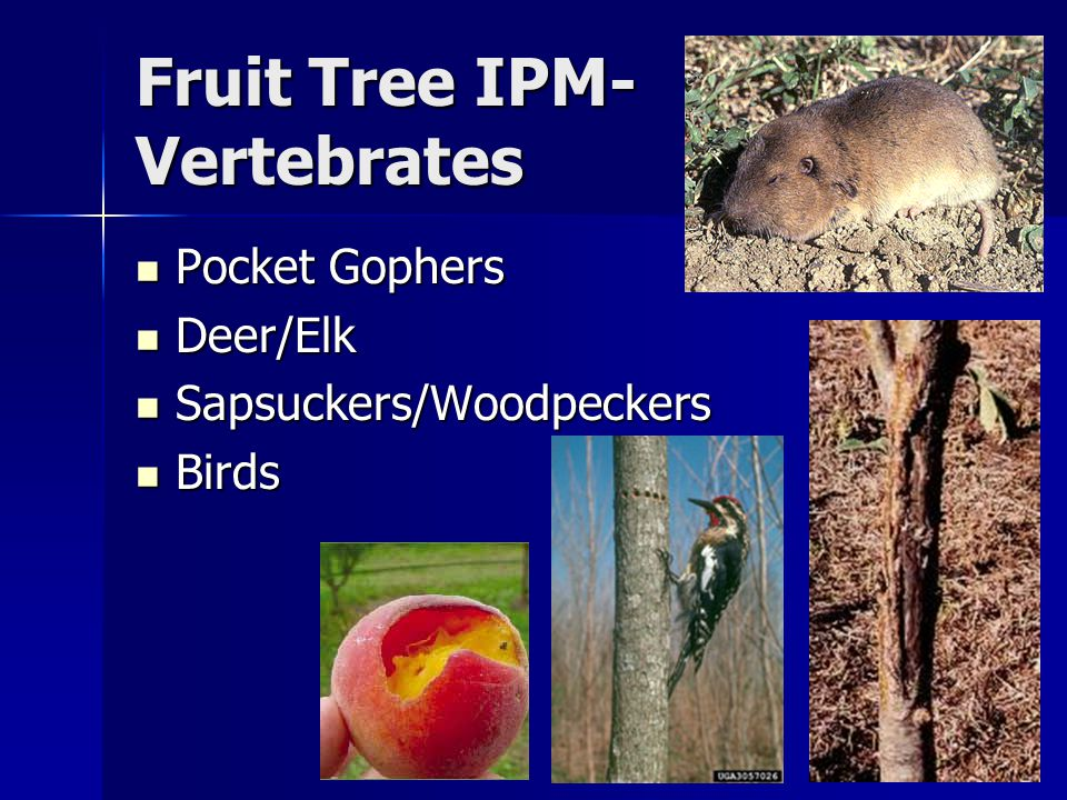 Fruit Tree IPM- Vertebrates Pocket Gophers Pocket Gophers Deer/Elk Deer/Elk Sapsuckers/Woodpeckers Sapsuckers/Woodpeckers Birds Birds