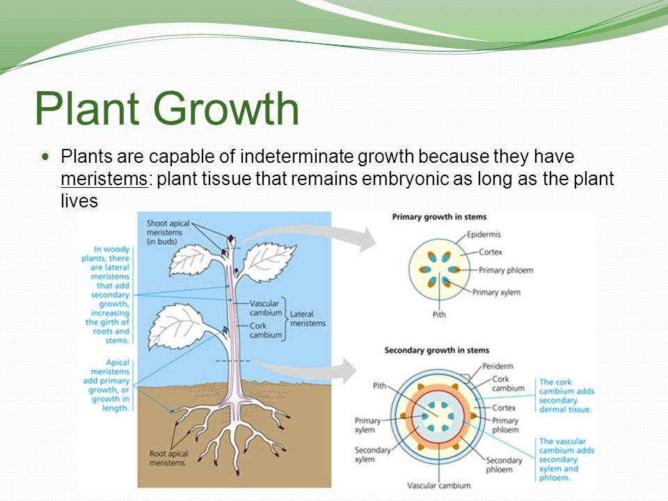 Plant Growth Apical Meristem: embryonic plant tissue in the tips of roots and in the buds of shoots that supplies cells for the plant to grow in length The process of growth in length due to apical meristems is called primary growth.