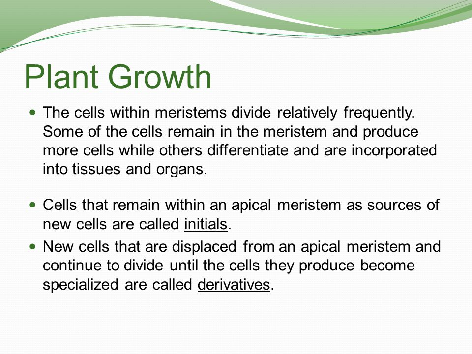 Plant Growth The cells within meristems divide relatively frequently. Some of the cells remain in the meristem and produce more cells while others dif