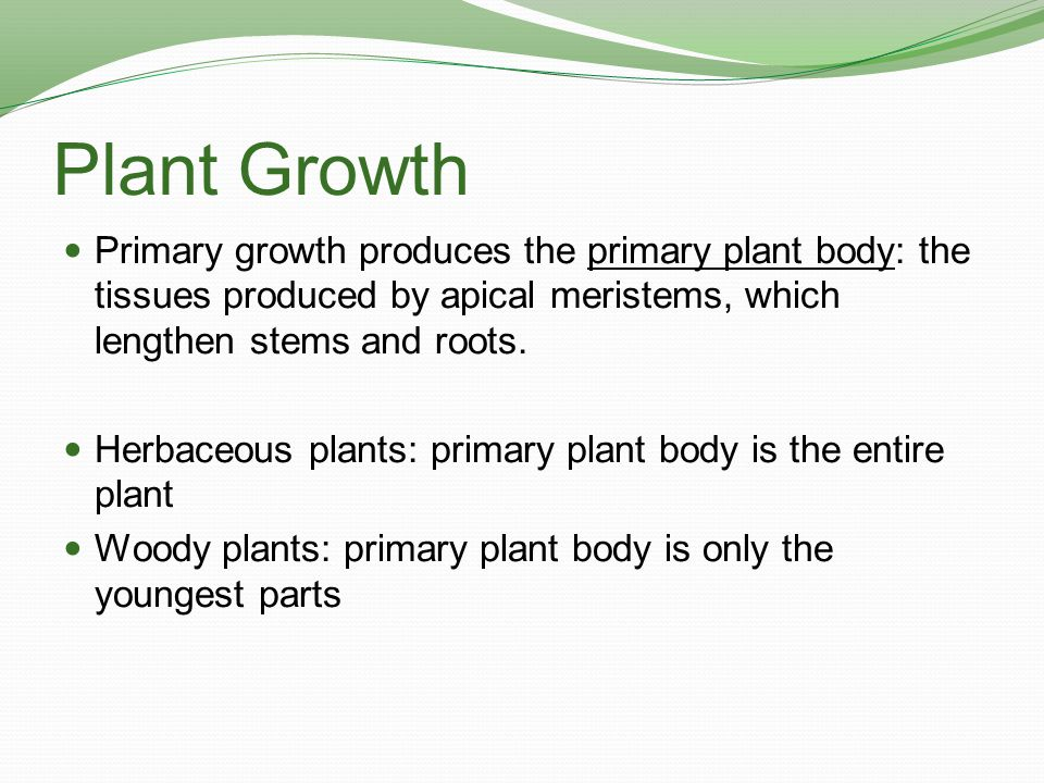 Plant Growth Primary growth produces the primary plant body: the tissues produced by apical meristems, which lengthen stems and roots. Herbaceous plan