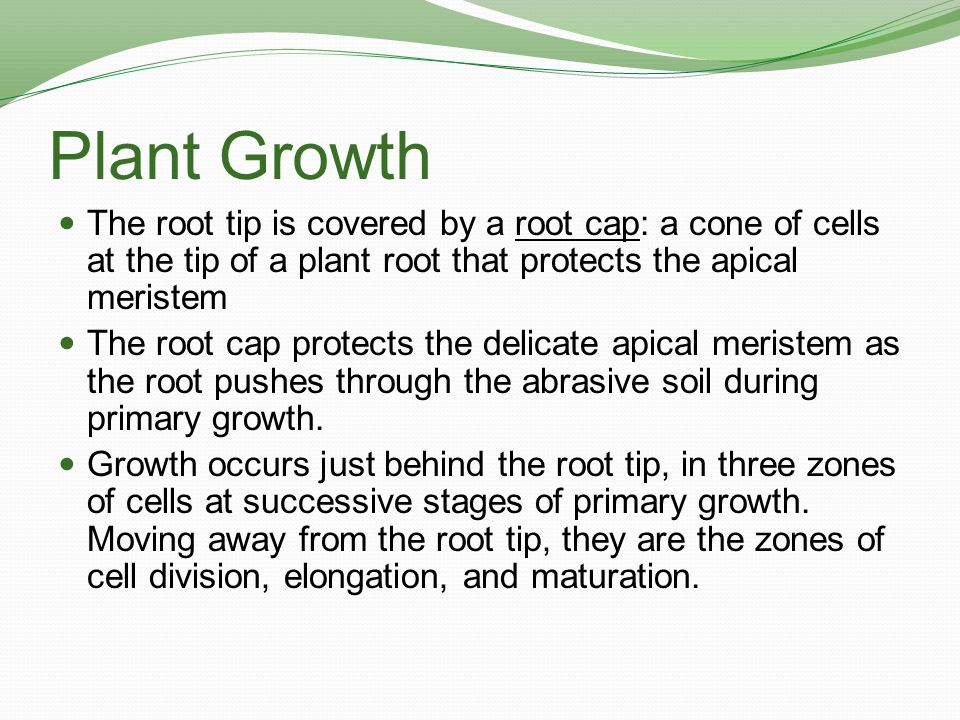 Plant Growth Zone of Cell Division: the zone of primary growth in roots consisting of the root apical meristem and its derivatives.