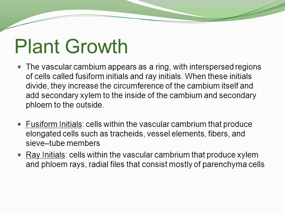 Plant Growth As secondary growth continues over the years, layers of secondary xylem (wood) accumulate, consisting mainly of tracheids, vessel elements, and fibers.