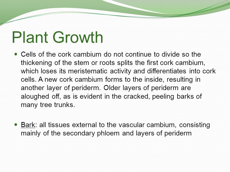 Plant Growth Cells of the cork cambium do not continue to divide so the thickening of the stem or roots splits the first cork cambium, which loses its
