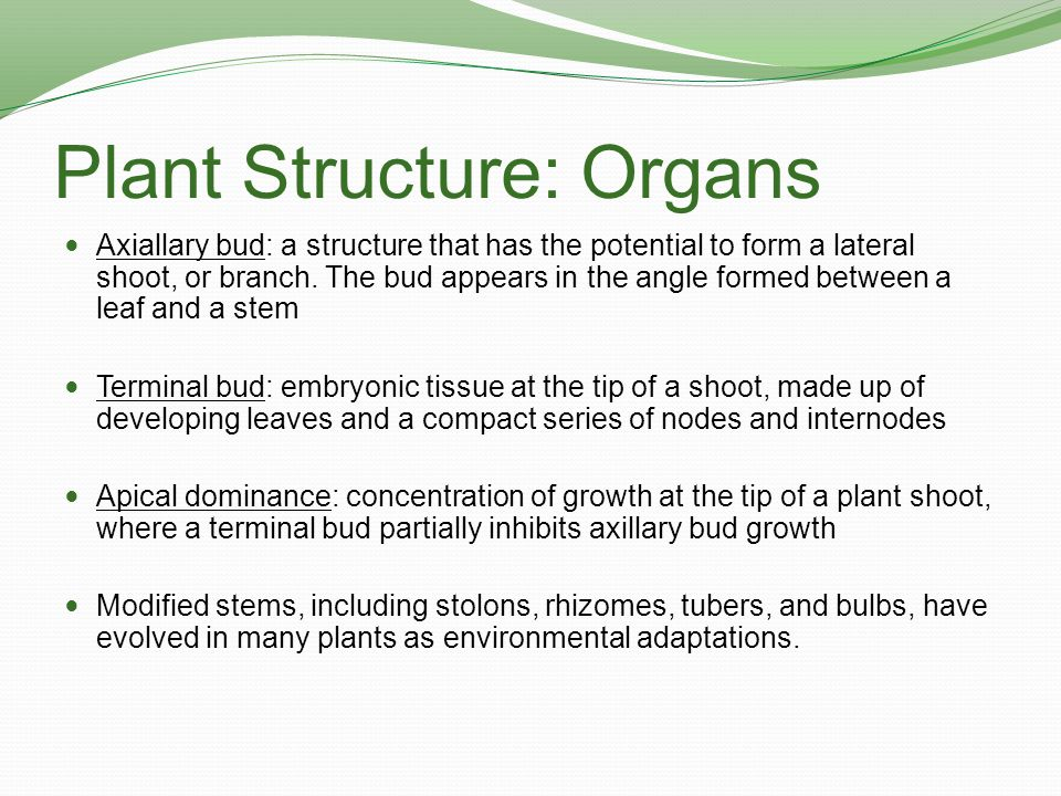 Plant Structure: Organs Axiallary bud: a structure that has the potential to form a lateral shoot, or branch. The bud appears in the angle formed betw
